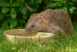 Hedgehog Drinking