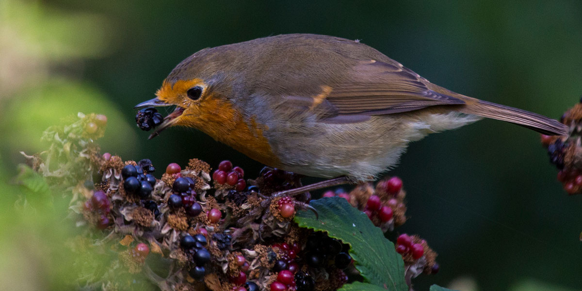 Robin eating blackberries