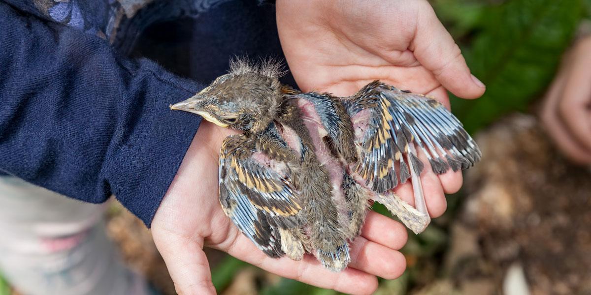 Baby bird thrush