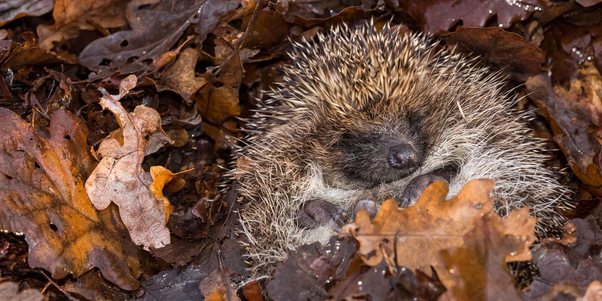 Hedgehog hibernting