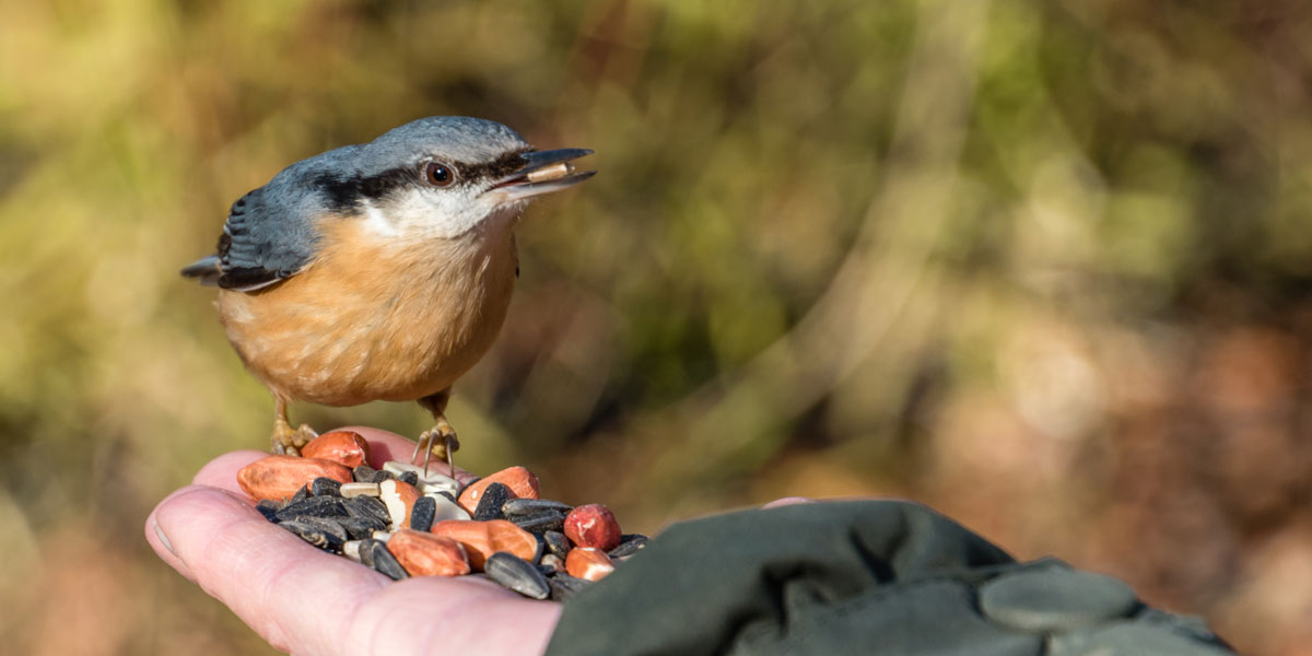 Nuthatch feeding from hand