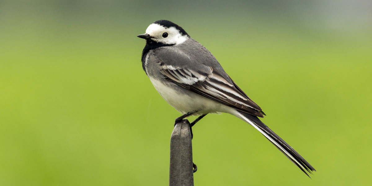 Pied Wagtail, Nest, Diet & Facts | Ark Wildlife UK