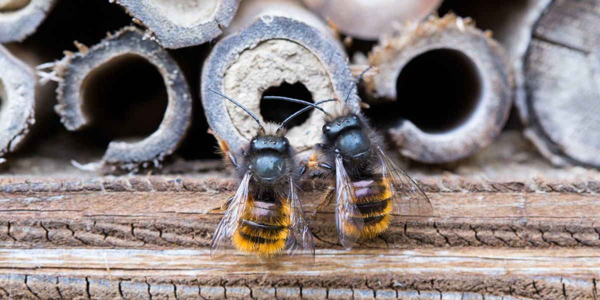 Mason Bees using artificial houses