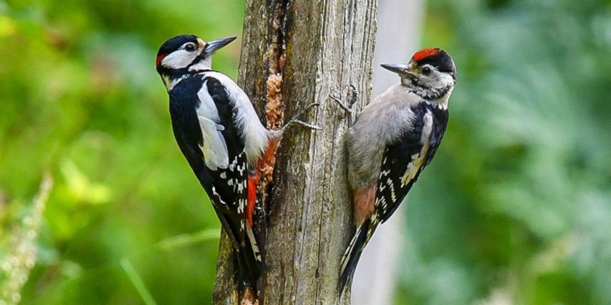 Woodpecker with youngster