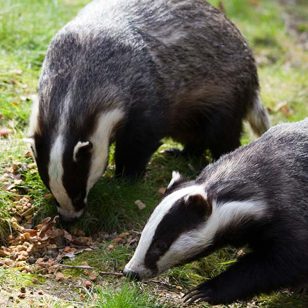Badgers Eating