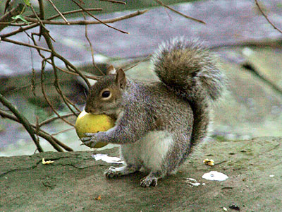Grey Squirrels opportunist feeders
