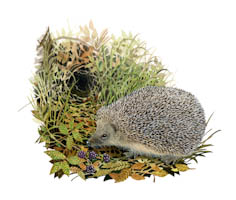 Autumn Orphan Hedgehogs can be easily found in gardens