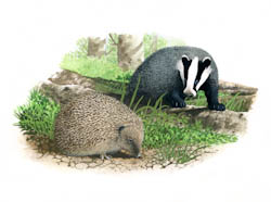 About hedgehogs in the garden and their predators