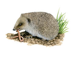 Hedgehog Food can be put out in the garden now