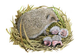 Hedgehog with litter