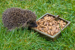 Feeding Juvenile Hedgehog
