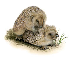Hedgehogs start mating and are fully active in gardens