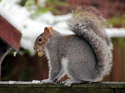 Squirrel feeding on peanut