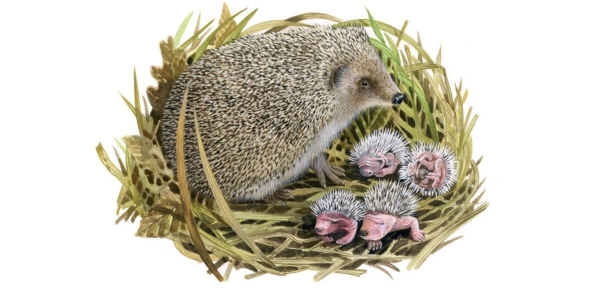 When do Hedgehogs Hibernate & Have Babies: A Timeline