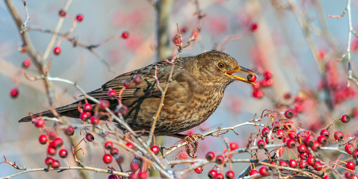 Birds missing from gardens when berries reign