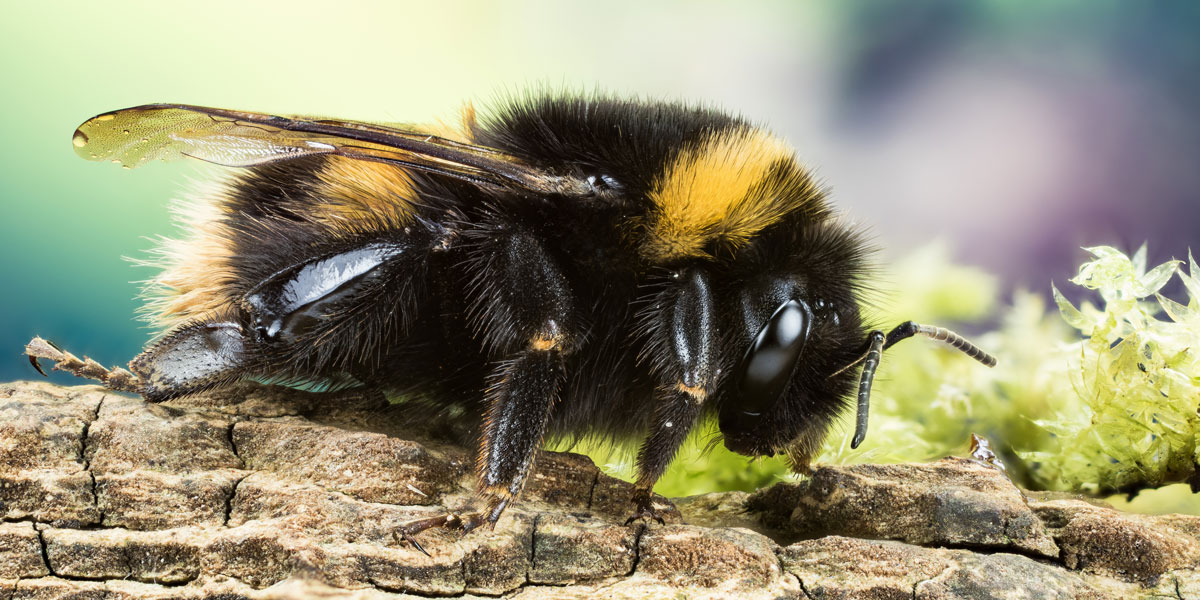 Buff Tail Bumblebee
