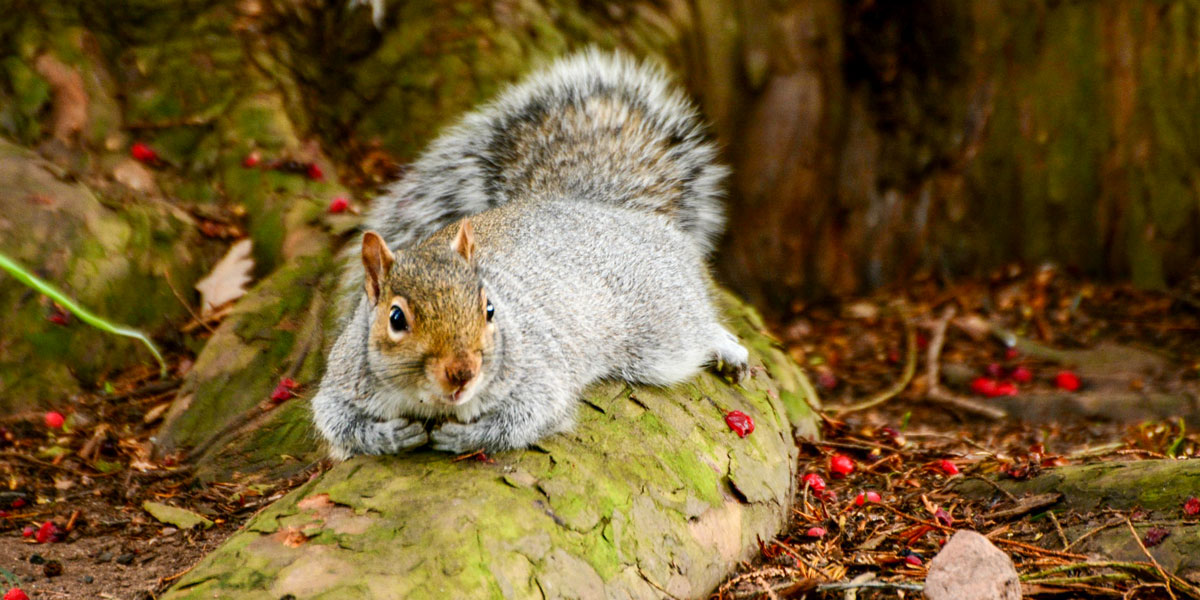 Grey squirrel in the garden