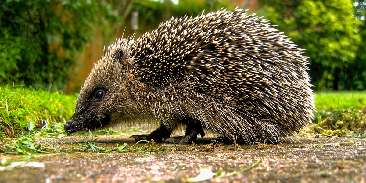 What hedgehogs eat, identification and more