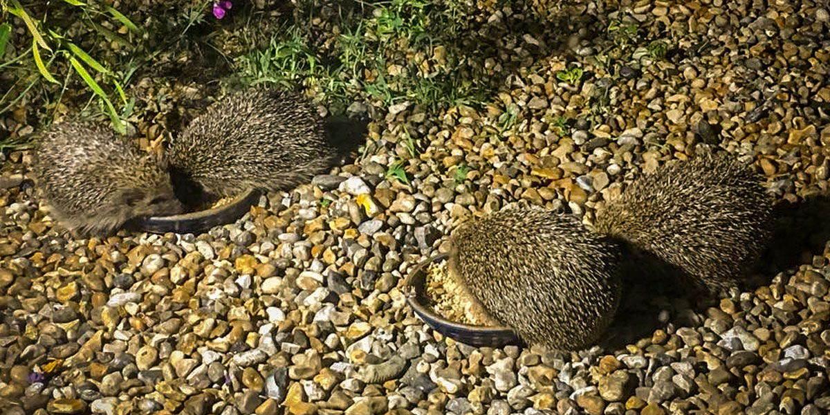 Hedgehogs eating in the garden