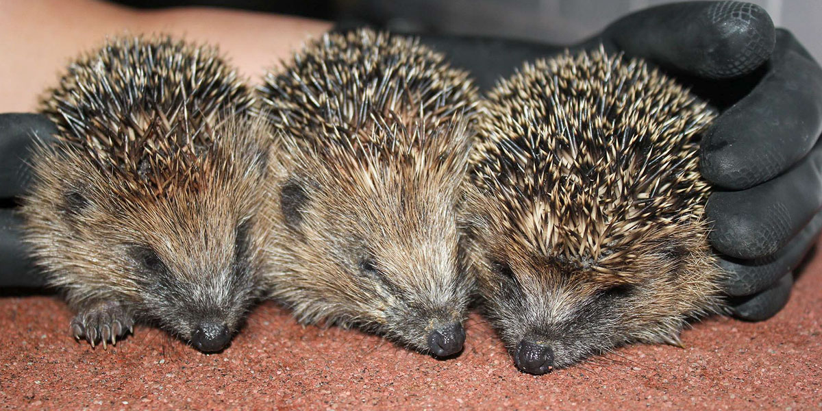 Orphan Juvenile Hedgehogs