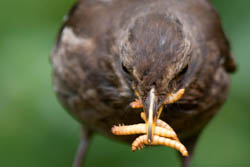 Blackbird Feeding