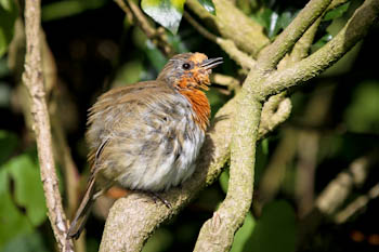 Moulting robins hide in the garden