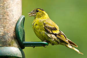 Siskin during the Moult
