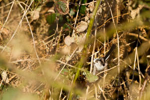 Long-Tailed Tit hiding