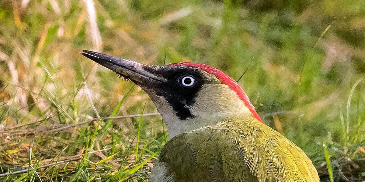 Woodpecker beak close up