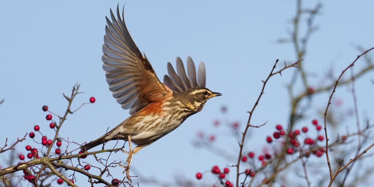 Redwing in flight