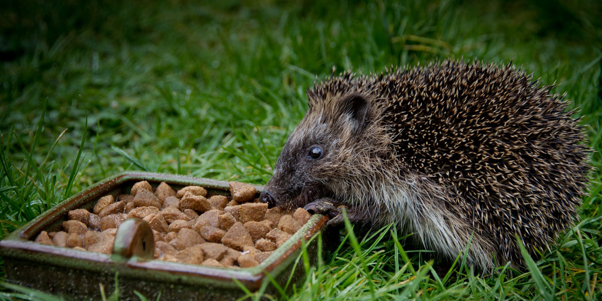 Hedgehog food feeding