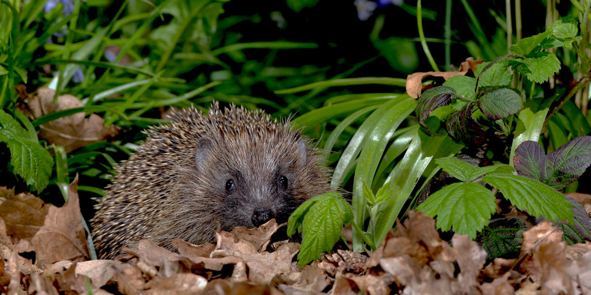 gardening for hedgehogs