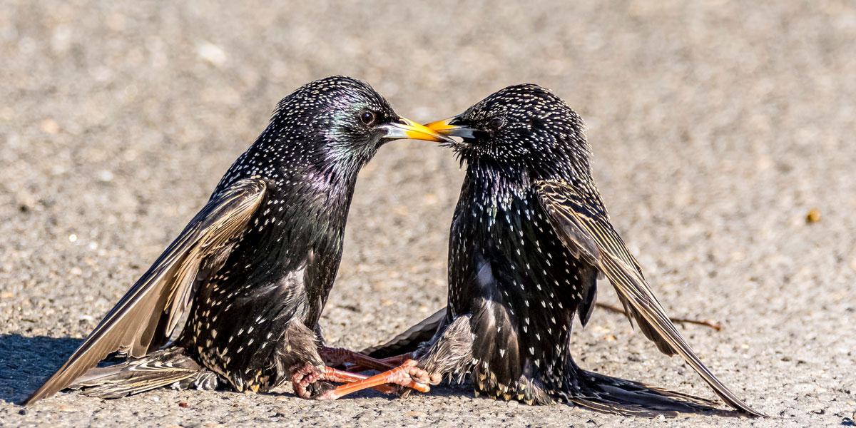 Starlings fighting