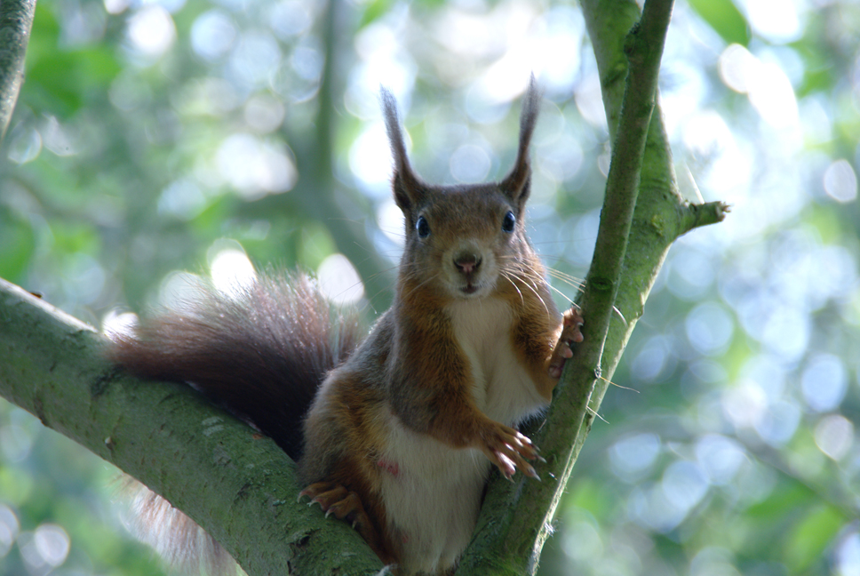 Red Squirrel in a tree