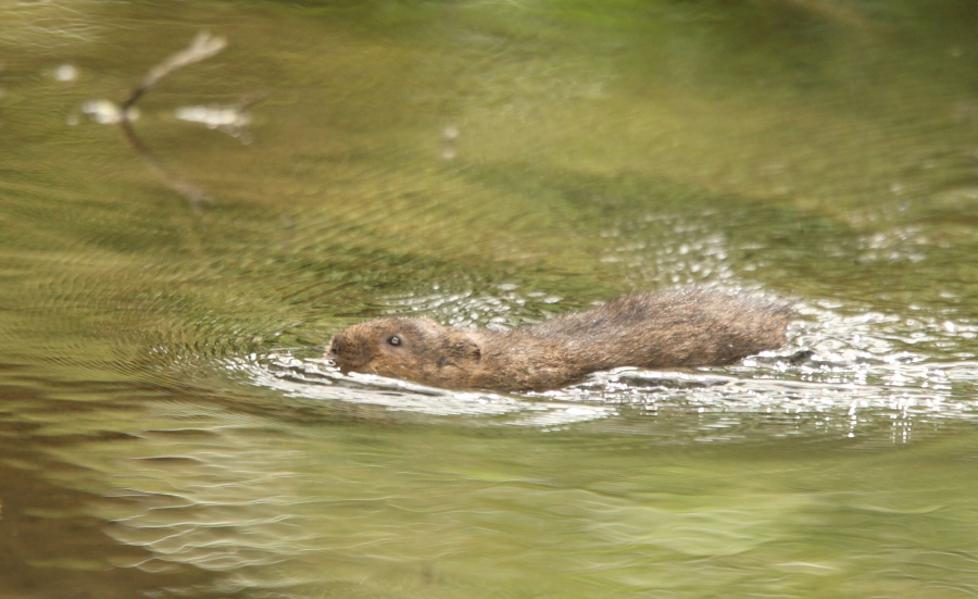 Swimming Water Vole