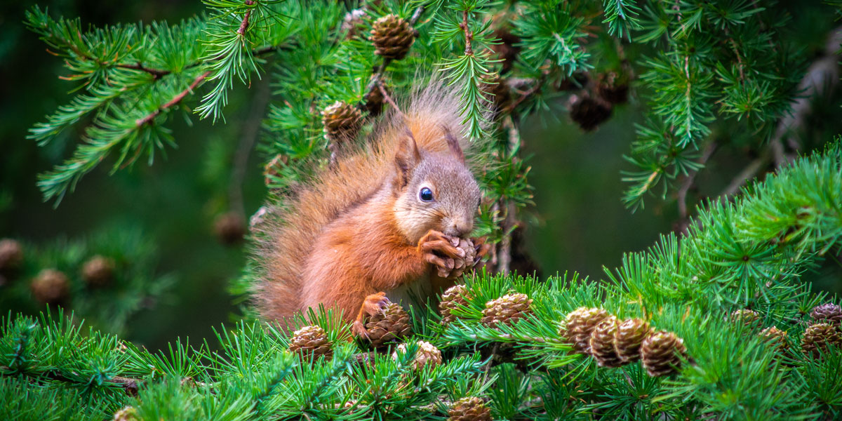 Red squirrel eating a pine cone