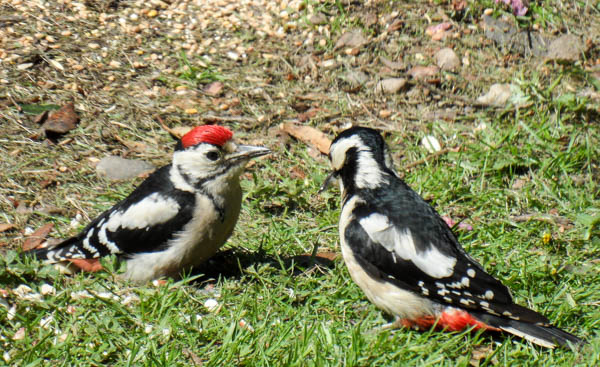 Woodpecker family