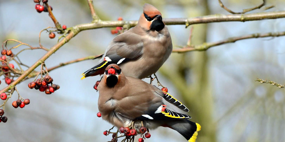waxwing birds in winter UK