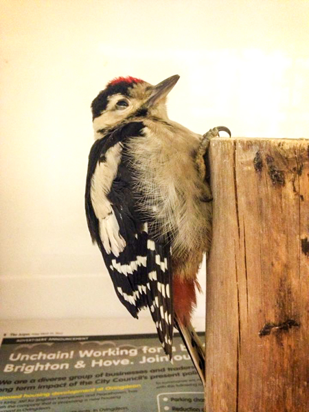 Injured Woodpecker