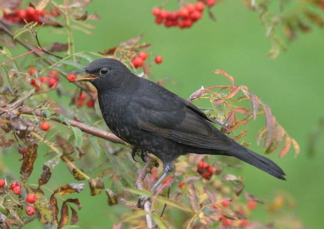 Holt Blackbird