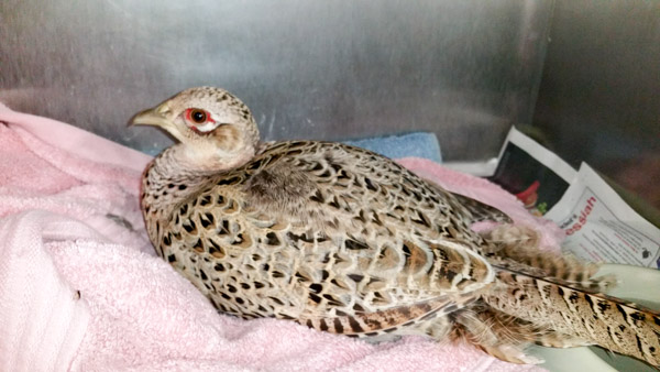 Injured pheasant