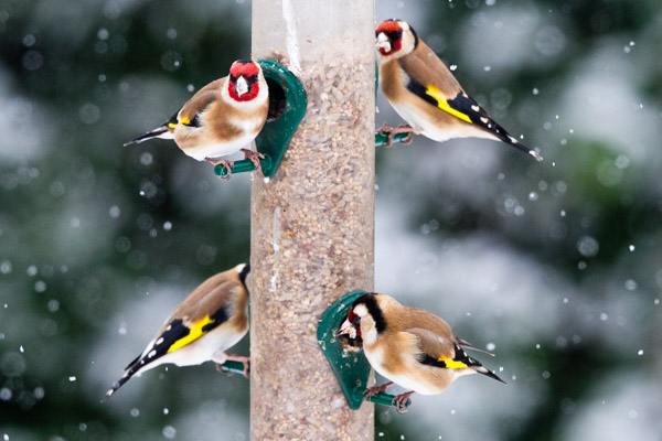 Goldfinches like niger seed