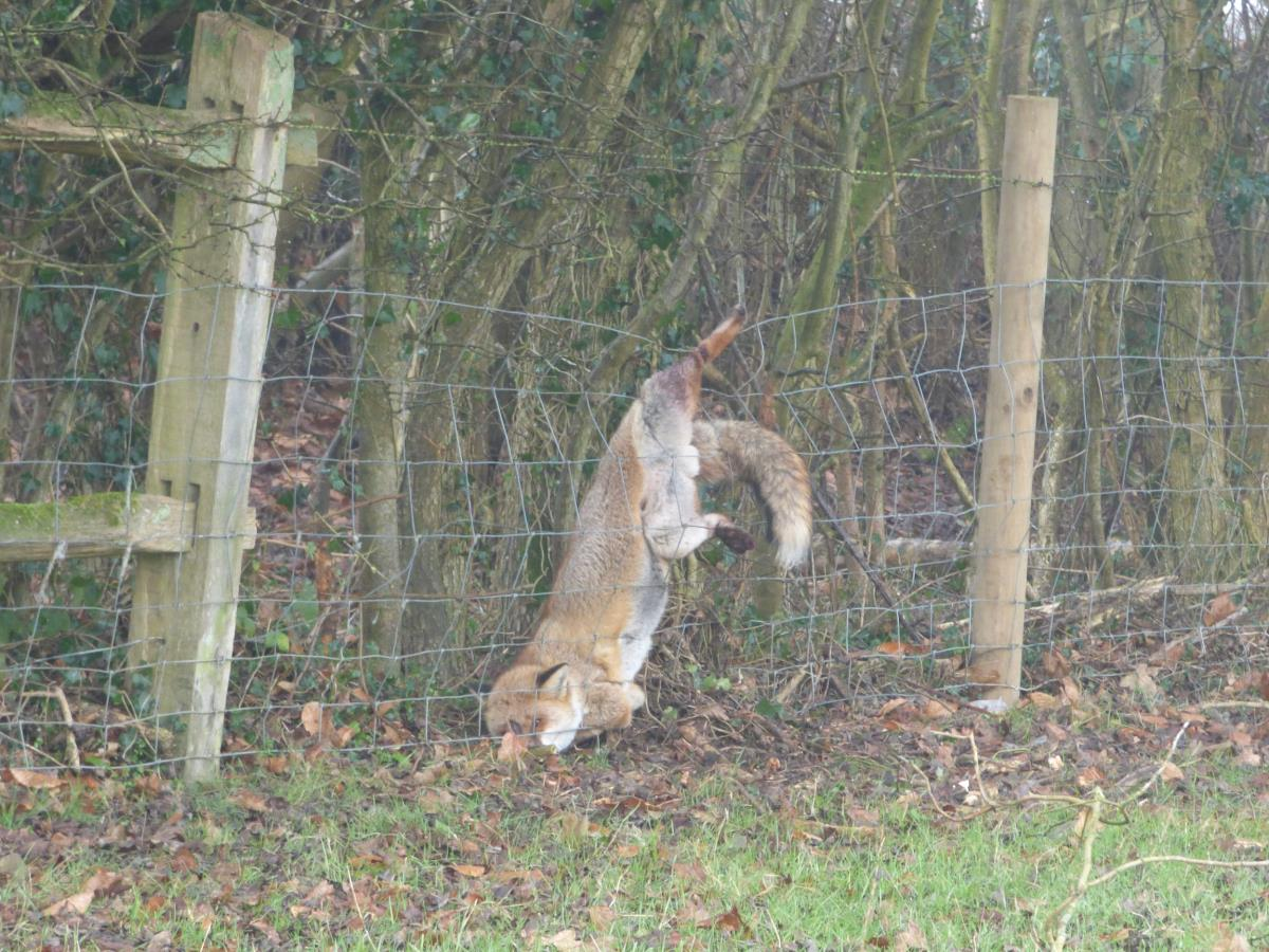 Fox trapped in fencing