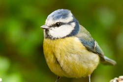 Bluetit Beak