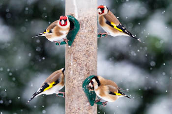 Goldfinches on feeder in snow
