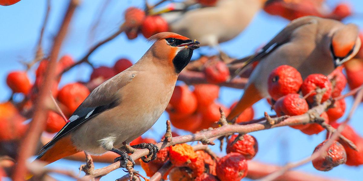 Waxwing Bird