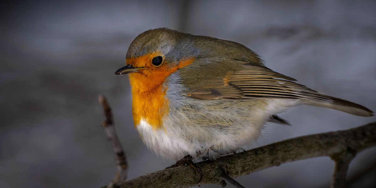 Robin perched on a cold night