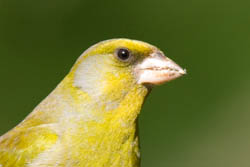 Greenfinch Beak
