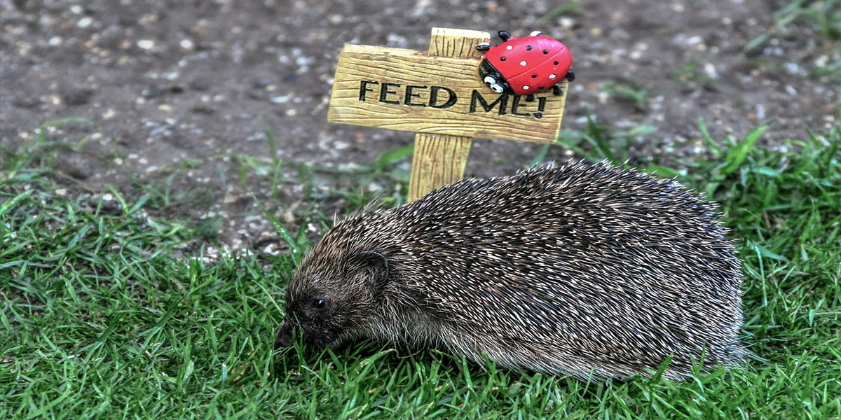What do hedgehog eat