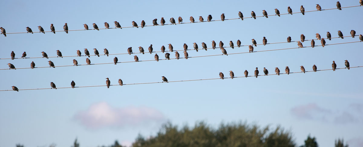 Starling on a telephone line